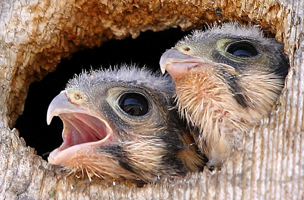 Falcon Chicks!