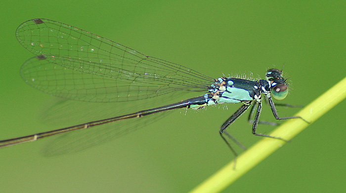 Another Damselfly!