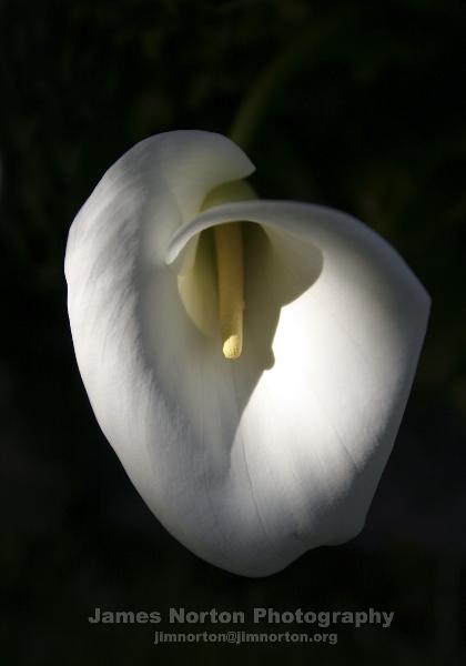Blooming Calla Lily