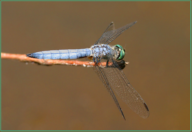 Another Dragonfly!