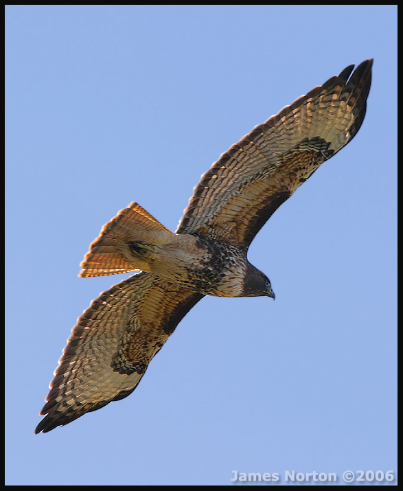 Red-Tailed Hawk in Flight!