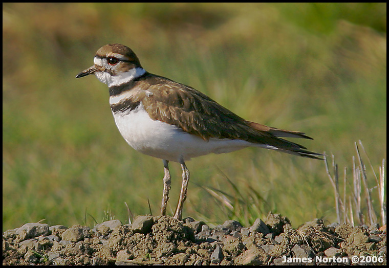 Killdeer at Finley National Wildlife Refuge