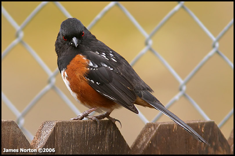 Posessed Spotted Towhee!