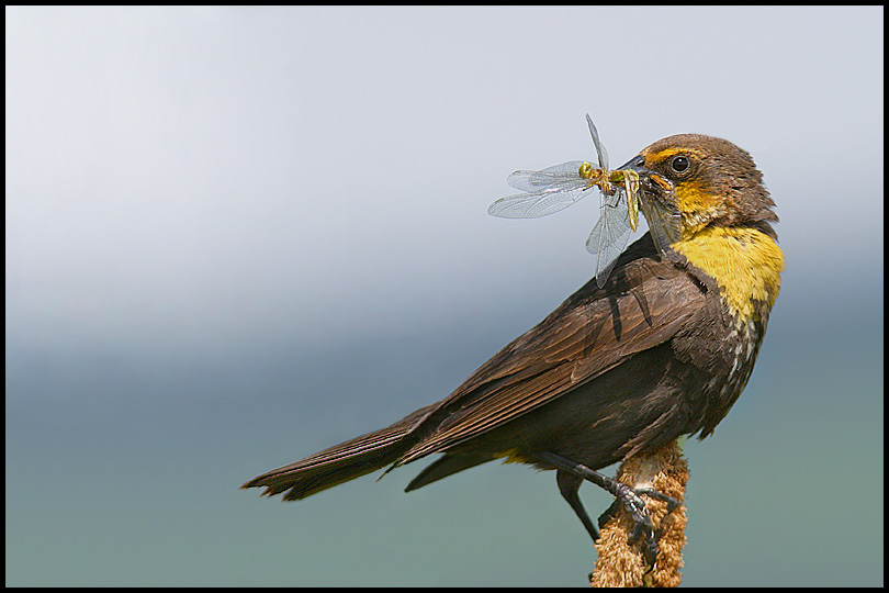 Female Yellow-Headed Blackbird with Lunch!