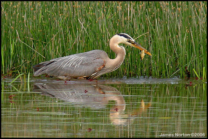 Great Blue Heron Catches Fish!