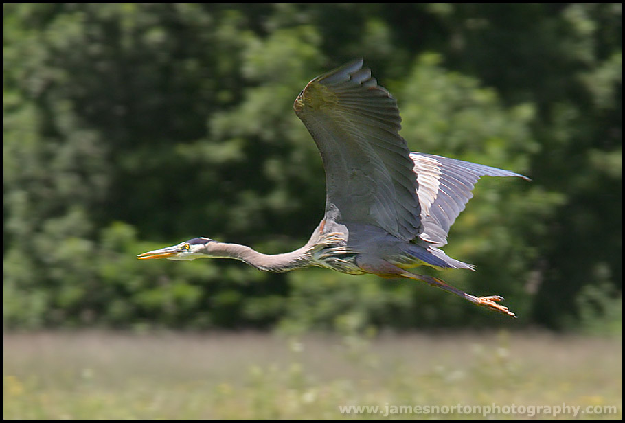 Blue Heron In Flight!