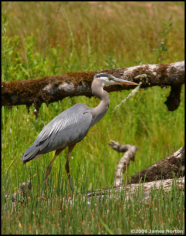 Great Blue Heron on the Hunt #2