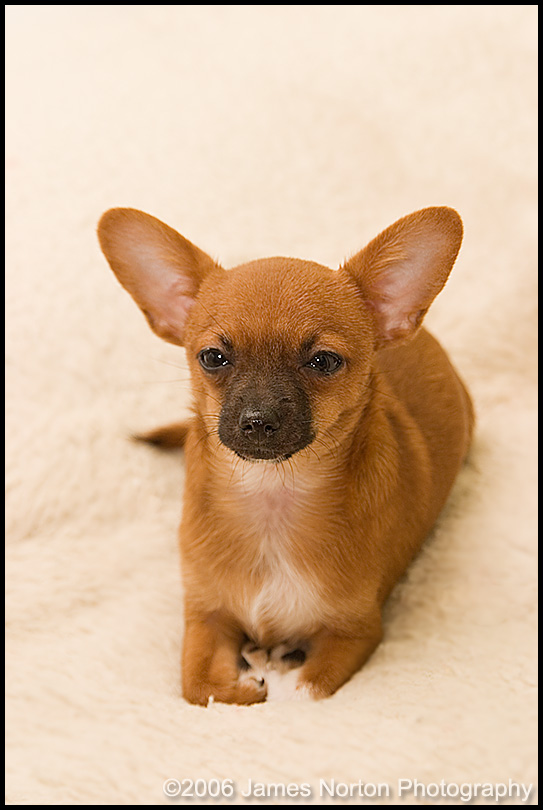 Waffles the Little Chiuahua