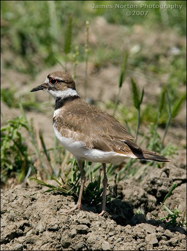 Killdeer in Southern Oregon - 2007